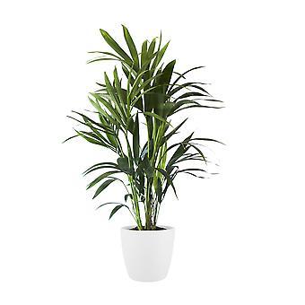 Zimmerpflanze – Kentiapalme in weißem Übertopf als Set – Höhe: 100 cm