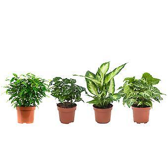 BOTANICLY Dieffenbachia Camilla, Planta de Café, Planta Arrowhead, Ficus benjamina