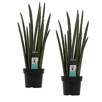 Piante da interno da Botanicly – 2 × Sansevieria Cylindrica – Altezza: 70 cm