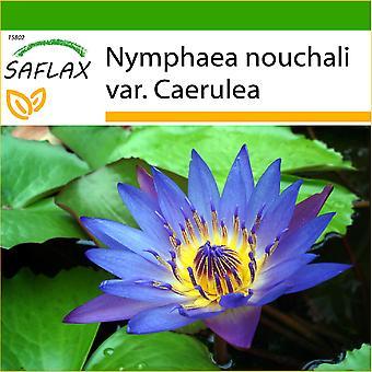 Saflax - 15 semi - con terreno - Blue Lotus - Lotus bleu - Loto blu dell'India - Loto azul - Blaue Seerose