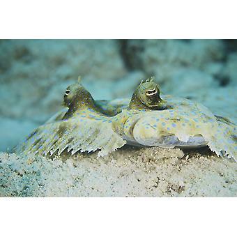 Kasvot Peacock kampela naamioitu merenpohjaa Bonaire Karibian Alankomaat Juliste Tulosta