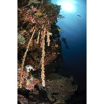 Soft coral reef Indonesia Poster Print