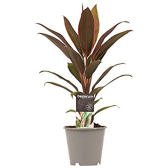 Kamerplant van Botanicly – Cordyline Fruticosa Rumba – Hoogte: 40 cm