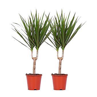 Choice of Green - Dracaena  marginata - set of 2 pieces
