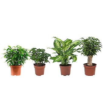 Sisäkasvit – 4 × Ficus vihreä perverssi, kahvi laitos, dieffenbachia, Ficus Natasja – Korkeus: 25 cm