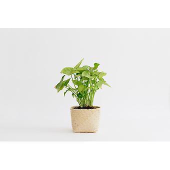 """4"""" Pfeilspitze Pflanze + Penan Korb"""