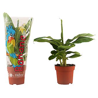 Banan växt ↕ 40 till 55 cm | Musa Tropicana