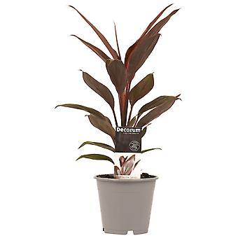 Kamerplant van Botanicly – Cordyline Fruticosa Tango – Hoogte: 40 cm