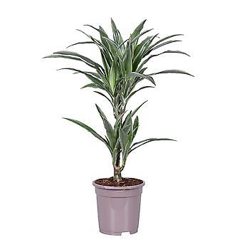 Indendørs plante fra botanisk - Dragon træ - Højde: 70 cm - Dracaena derem. Warneckei