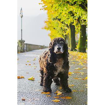 Portrett av en hund stående på en våt bane høsten Locarno Ticino Sveits PosterPrint