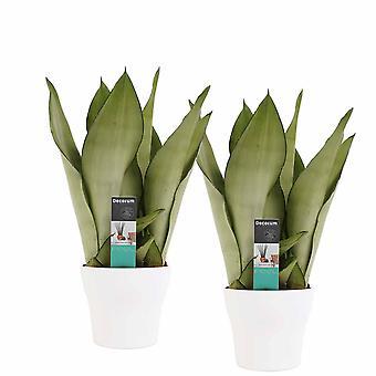 Plantes d'intérieur – 2 × Langue de belle-mère – Hauteur: 30 cm