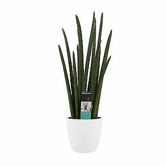 Pianta d'appartamento – Sanseveria cylindrica in vaso bianco come set – Altezza: 60 cm