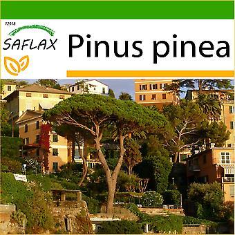Saflax - 6 frø - med jord - Stone Pine - Pin parasoll - Pino marittimo - Pinos piñoneros - Mittelmeer - Pinie