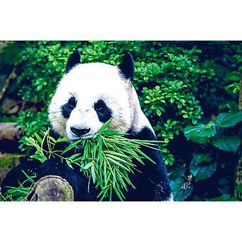 Taustakuva seinämaalaus jättiläinen panda (400x260 cm)