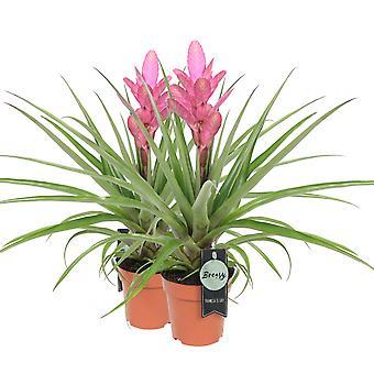 Bromelia Tillandsia Antonio 2 pieces - Height 65 cm - Diameter pot 12 cm