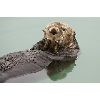 Una lontra di mare adulto galleggia nelle acque calme del porto della piccola barca Valdez Southcentral Alaska estate PosterPrint
