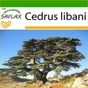 Saflax - 20 semi - con terreno - cedro del Libano - Cèdre du Liban - Cedro libanese - Cedro del Líbano - Libano - Zeder