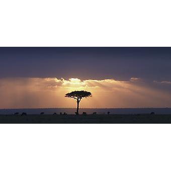 Akaasiapuun ja gnuu mukaisesti Sunset Kenia Afrikka PosterPrint