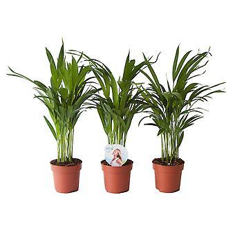 Dypsis Areca Golden Palm - Hoogte 45 cm - Diameter pot 12 cm