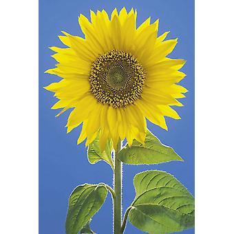 Affiche - Studio B - 24x36 Sunflower Wall Art CJ2268