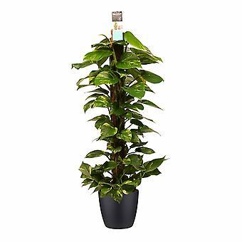 Epipremnum Aureum ↕ 70 tot 110 cm verkrijgbaar met bloempot | Epipremnum Aureum