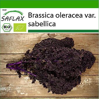 Saflax - 50 semi - Con terreno - Organico - Cavolo - Redbor - BIO - Chou frisé - Rouge - BIO - Cavolo riccio - Krauser rosso - Ecológico - Col verde - Rizado rojo - BIO - Grünkohl - Roter Krauser