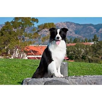 A Border Collie dog sitting Poster Print by Zandria Muench Beraldo