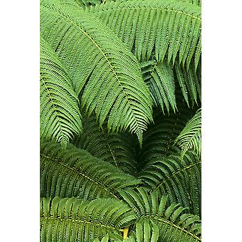 Hawaii Close-Up Detail Of Hapuu Ferns On Plant Environment A24D PosterPrint