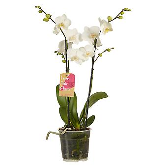 Choix de vert - Phalaenopsis multiflora White - Butterfly Orchid