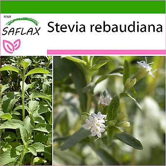 Saflax - 100 Samen - mit Boden - Sweet Leaf von Paraguay - Chanvre d ' Eau - Stevia - Hierba Dulce - Stevia Süßkraut