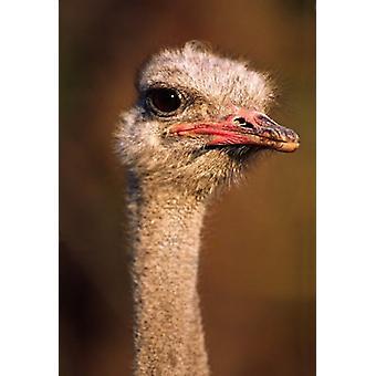 الطيور النعامة الشائعة ناميبيا طباعة ملصق بتشارلز سليتشير