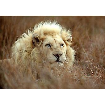 Fondo de pantalla Mural White Male Lion (2988529