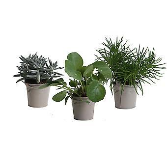 Zimmerpflanzen von Botanicly – 3 × Amazone Mix in taupe-farbenem Übertopf als Set – Höhe: 15 cm