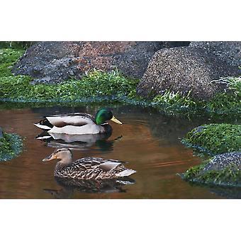 Sinisorsia uida vuorovesi-allas Ecola State Park Cannon Beach Oregon Yhdysvallat Juliste Tulosta Robert L Potts Design kuvia