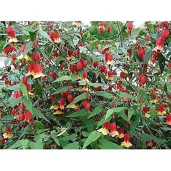 Abutilon megapotamicum - Chinese Lantern - 3 Plants in 9cm Pots