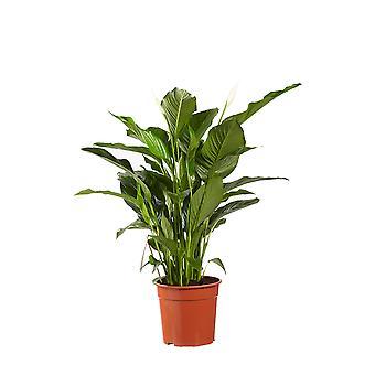 Einblatt ↕ 60 bis 90 cm | Spathiphyllum Sweet Lauretta