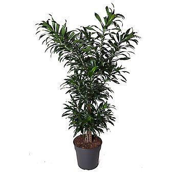 Indendørs plante fra Botanicly – Dragetræ – Højde: 120 cm – Dracaena reflexa