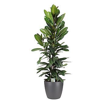 Pianta d'appartamento – Fico Benjamin in vaso antracite come set – Altezza: 120 cm