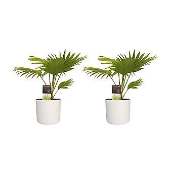 Decorum Duo 2 x Livistona Rotendifolia met Elho B. voor zacht wit - Hoogte 45 - Diameter pot 27.5