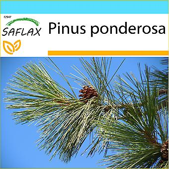 Saflax - dom Set - 20 sementes - Pinus Ponderosa - pino ponderosa - Pino giallo - occidental de Pino amarillo - Goldkiefer