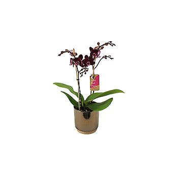 BOTANICLY Phalaenopsis Multiflora Harlekijn - Schmetterlingsorchidee