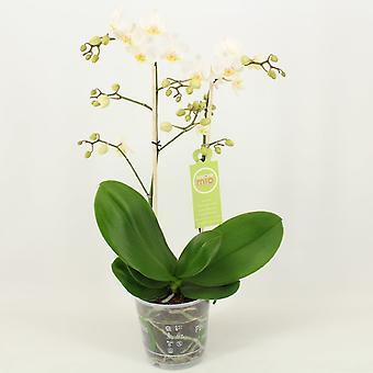 Orkidé fra Botanicly – Sommerfugl orkidé – Højde: 45 cm, 1 stængel – Phalaenopsis multiflora Albina