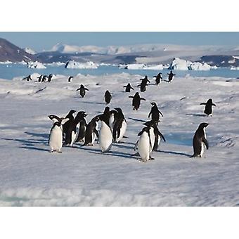 Остров дьявола Пингвины Адели Antartica плакат печати Хью Роуз