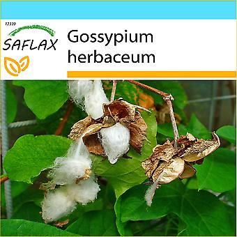 Saflax - coffret cadeau - 12 graines - Levant coton - Cotonnier - Cotone asiatico - Algodón - Topfbaumwolle
