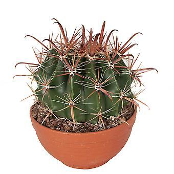 BOTANICLY Ferocactus Wislizeni - Fishhook Barrel Cactus