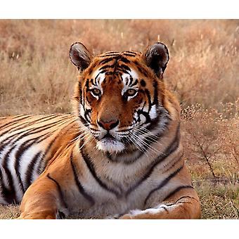 Tapetti Mural Tiger
