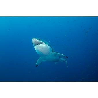 Male Great White Shark Guadalupe Island Mexico Poster Print by Todd WinnerStocktrek Images