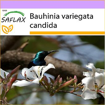 Saflax - 5 nasion - White Orchid Tree - Arbre aux orchidées blanches - Albero di orchidea bianca - Árbol orquídea blanca - Weißer Orchideenbaum