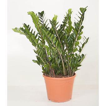 Zimmerpflanze von Botanicly – Glücksfeder – Höhe: 110 cm – Zamioculcas zamiifolia