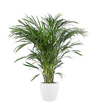 Kamerplant – Goudpalm incl. sierpot wit als set – Hoogte: 90 cm